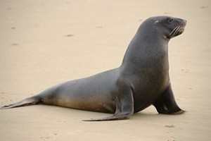 2014-320px-New_Zealand_Sea_Lion
