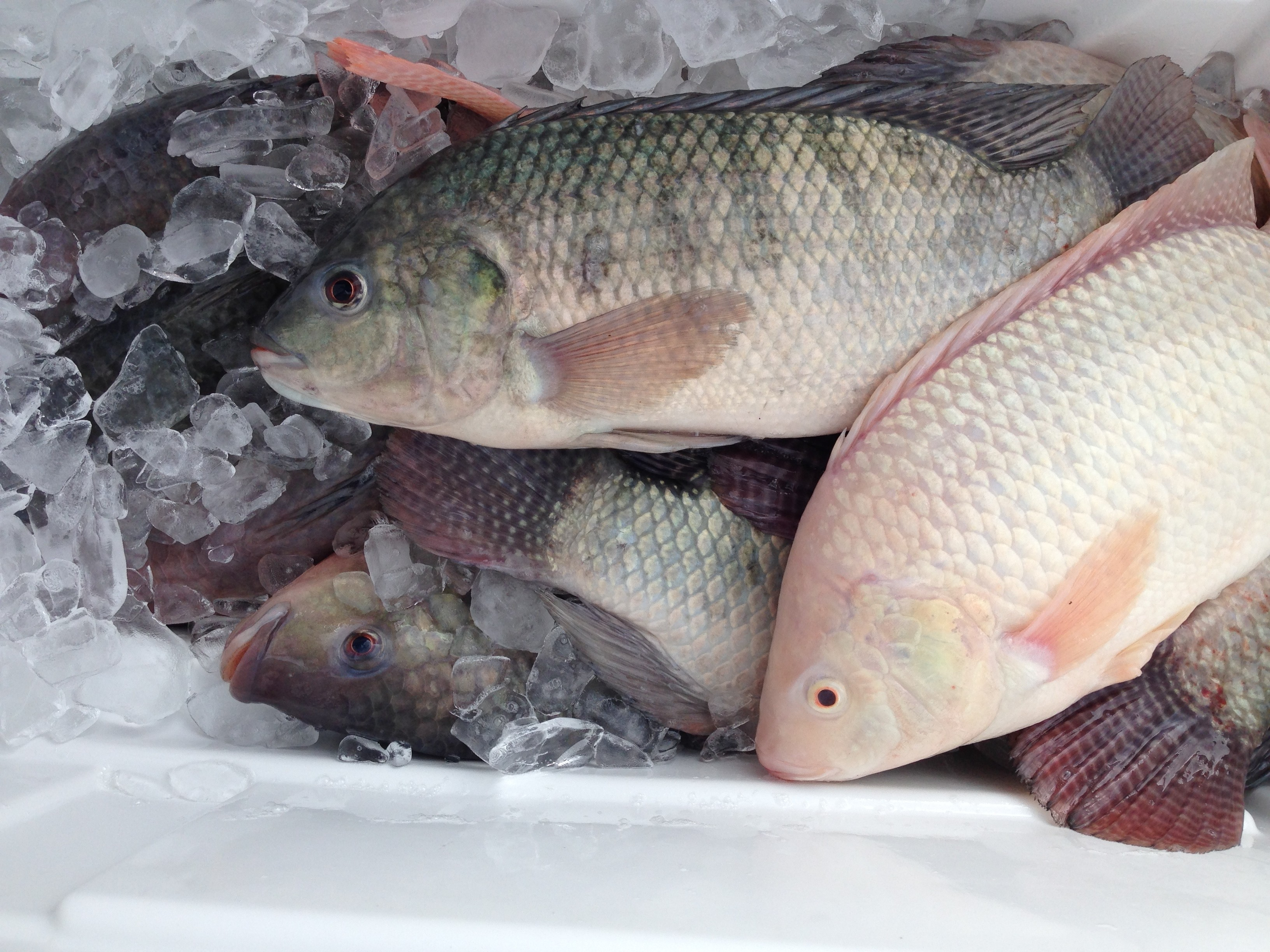 Why tilapia species selection at the clf aquaponics for What is tilapia fish
