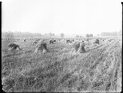 Haystacks, Dayton, Ohio, 1905.